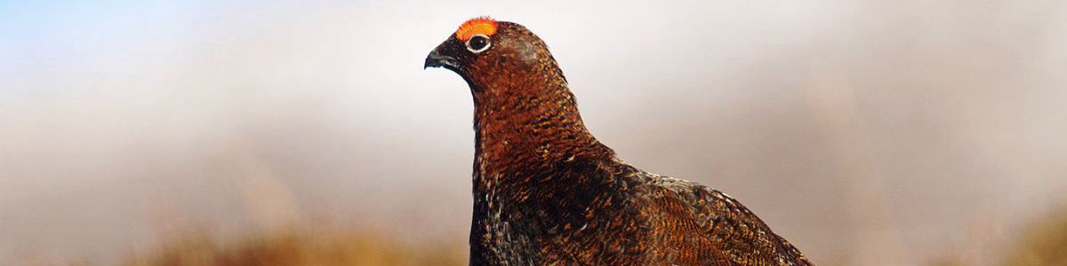 Countdown to the UK Grouse Shooting Season…